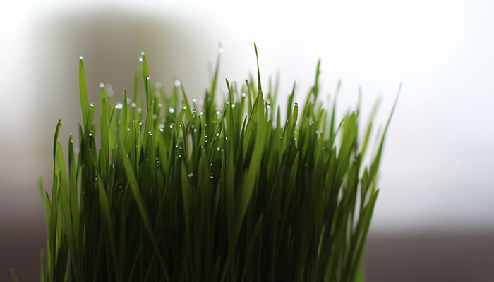 Wheatgrass for Energy and Vitality
